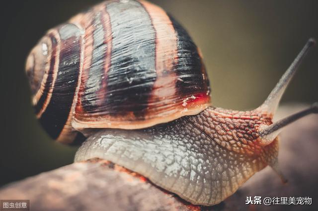 在蜗牛被列为美女养成章鱼的非洲大宠物,居然被外来入侵了泡泡梦幻西游物种王我国王图片